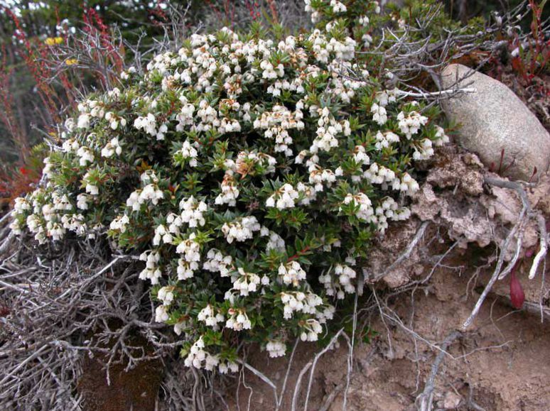 Pernettya Cuidados.Flores De Jardin Gaulteria Chilenos Pernettya Gaultheria Mucronata Cultivacion Y Cuidado Foto Caracteristicas Y Plantacion