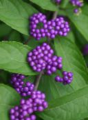 Beauty berry (lilac)