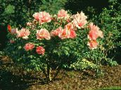 Pivoine D'arbres (orange)