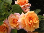 Polyantha Rose (orange)