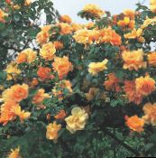 Rambler Rose, Rose Escalade (orange)