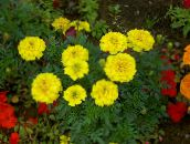 Garden Flowers Marigold, Tagetes yellow