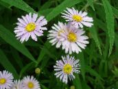 Bolton's Aster, White Doll's Daisy, False Aster, False Chamomile (pink)