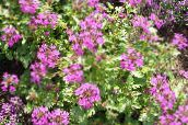 Rose Verbena, Clump Verbena, Homestead Verbena (pink)