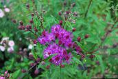 Ironweed (pink)