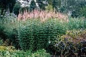 Culver's Root, Bowman's Root, Black Root (pink)