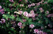 Crown Vetch (pink)