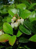 Gaultheria, Alisier (blanc)