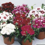 Dianthus, China Pinks (red)