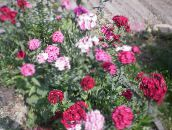 Sweet William (pink)