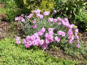 Perrenial Dianthus (rose)