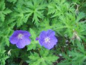 Hardy geranium, Wild Geranium (light blue)