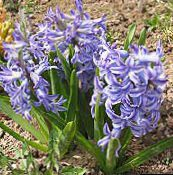 Dutch Hyacinth (light blue)