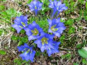 Gentian, Willow gentian (light blue)