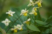 Epimedium Longspur, Barrenwort (amarillo)