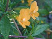Sticky Monkeyflower (orange)