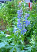 Delphinium (light blue)