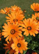 Cape Marigold, African Daisy (orange)