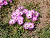 Livingstone Daisy (rose)