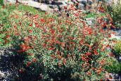 Narrowleaf California Fuchsia, Hoary Fuchsia, Hummingbird Trumpet (orange)