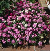 Candytuft (rose)