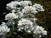 blanco Candytuft