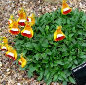 Lady's Slipper, Slipper Flower, Slipperwort, Pocketbook Plant, Pouch Flower (orange)