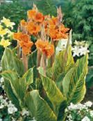 Canna Lily, Indian shot plant (orange)