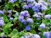 Floss Flower, Ageratum houstonianum light blue