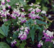 Blue-Eyed Mary, Chinese Houses (pink)