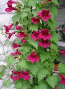 Twining Snapdragon, Creeping Gloxinia (red)
