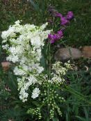 Meadowsweet, Dropwort (white)