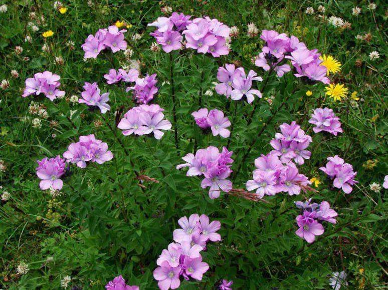 Ленок цветы как сажать 76