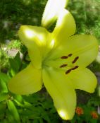 Lily The Asiatic Hybrids (yellow)