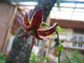 Martagon Lily, Common Turk's Cap Lily (burgundy)