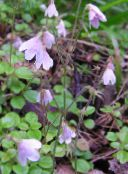 rosa Twinflower
