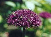 Ornamental Onion (burgundy)