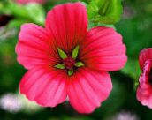Malope (rouge)