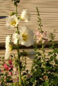 Hollyhock (white)