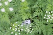 Sweet cicely (white)
