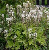 Tiarella, Foam flower (white)