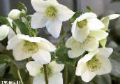 Christmas Rose, Lenten Rose (white)