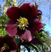 Christmas Rose, Lenten Rose (burgundy)