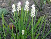 Grape hyacinth (white)