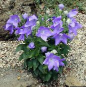 Balloon Flower, Campanule Chinois (lilas)