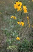 Mexican Hats, Grey Headed Coneflower, Upright Prairie Coneflower, Yellow Coneflower, Red Hats (yellow)