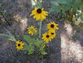 Black-eyed Susan, Eastern Coneflower, Orange Coneflower, Showy Coneflower (yellow)