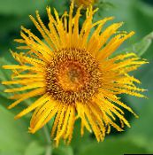 Telekia, Yellow Oxeye, Heartleaf Oxeye (yellow)
