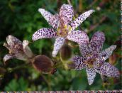 Toad Lily (pink)