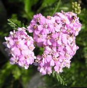 Yarrow, Milfoil, Staunchweed, Sanguinary, Thousandleaf, Soldier's Woundwort (pink)